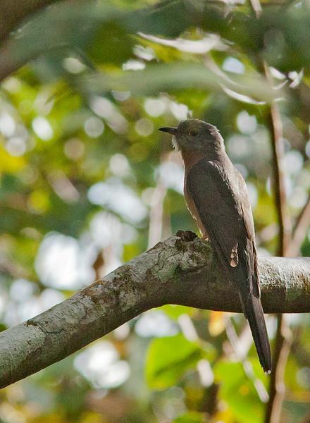 Rusty-breasted Cuckoo - sepulclaris ssp