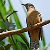 Rusty-breasted Cuckoo -sepulclaris ssp