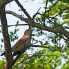 Rusty-breasted Cuckoo - sepulcralis ssp