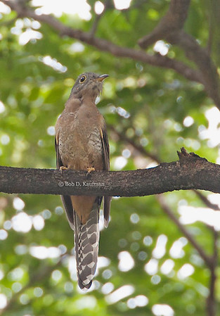 Cacomantis sepulcralis - Rusty-breasted Cuckoo