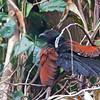 Philippine Coucal - viridis ssp