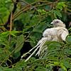 Philippine Coucal - viridis ssp white morph