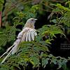Philippine Coucal - viridis ssp - white morph
