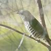 Shining Bronze Cuckoo - plagosus ssp