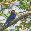 Violet Cuckoo - amethystinus ssp