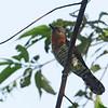 Violet Cuckoo - amethystinus ssp - female
