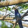 Violet Cuckoo - amethystinus ssp - male