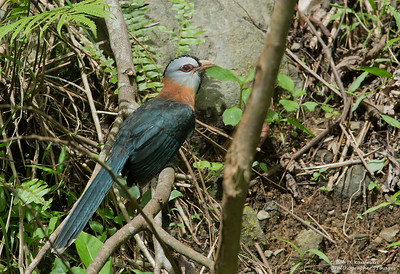 Dasylophus cumingi - Scale-feathered Malkoha