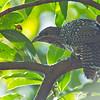 Asian Koel - chinensis ssp