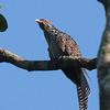 Asian Koel - malayanus ssp - female