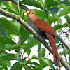Squirrel Cuckoo - mesura ssp