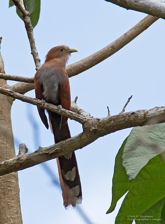 Piaya cayana - Squirrel Cuckoo