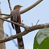 Squirrel Cuckoo - thermophila ssp