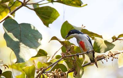Dicaeum australe - Red-keeled Flowerpecker