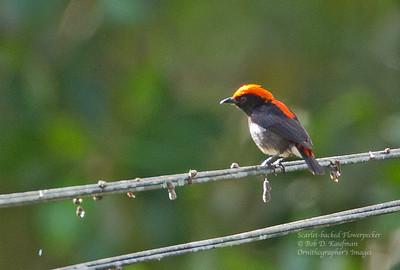 Dicaeum cruentatum - Scarlet-backed Flowerpecker
