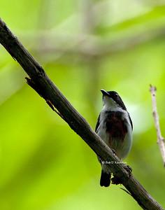 Dicaeum haematostictum - Black-belted Flowerpecker