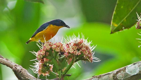 Dicaeum trigonostigma - Orange-bellied Flowerpecker