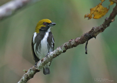 Prionochilus olivaceus - Olive-backed Flowerpecker