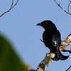 Hair-crested Drongo - borneensis ssp