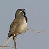 Black-throated Sparrow - deserticola ssp