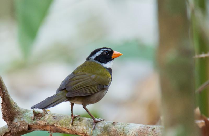 Orange-billed Sparrow - strictocollaris ssp