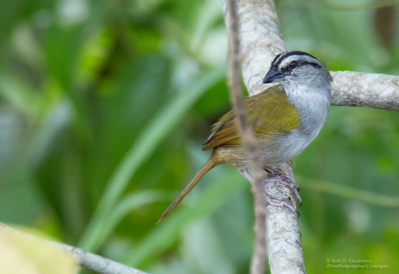 Black-striped Sparrow - striaticeps ssp