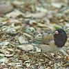 Dark-eyed Junco ( Oregon) - oreganus ssp