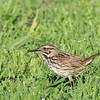 Song Sparrow - heermanni ssp