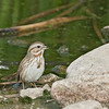 Song Sparrow - fallax ssp