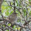 Slate-colored Fox Sparrow - canescens ssp