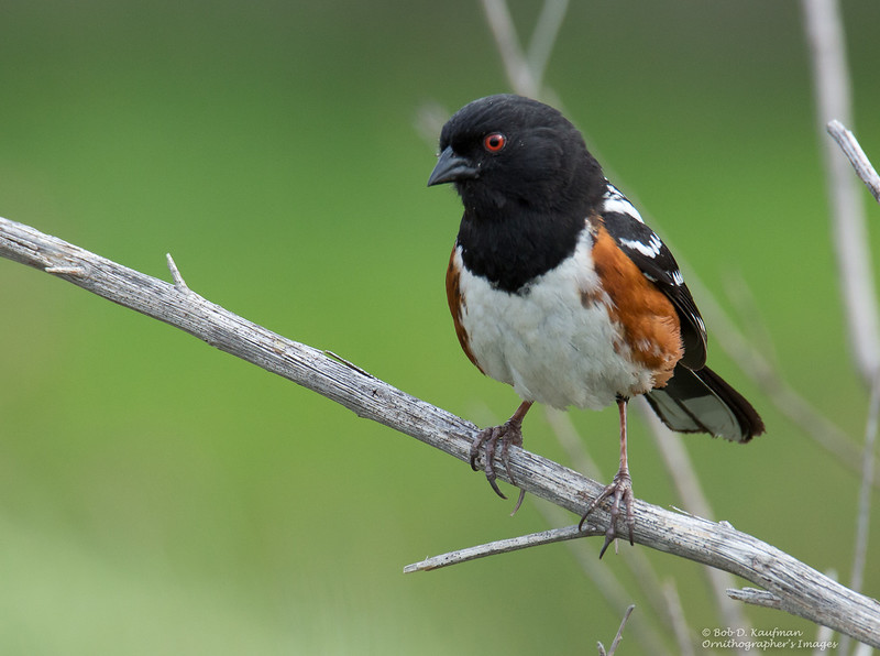 Spotted Towhee - megalonyx ssp