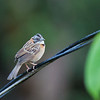 Rufous-collared Sparrow - costaricensis ssp