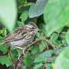 Rufous-collared Sparrow - subtorquata ssp - immature