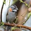 Rufous-collared Sparrow - subtorquata ssp