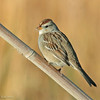 White-crowned Sparrow - nuttalli ssp - immature