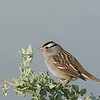 White-crowned Sparrow - oriantha ssp?