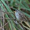 White-crowned Sparrow - nuttalli ssp