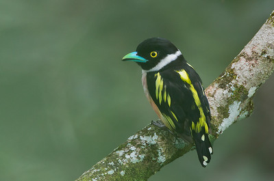 Eurylaimus ochromalus - Black-and-yellow Broadbill