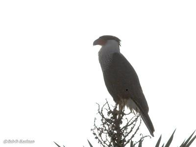 Caracara cheriway - Northern Crested Caracara