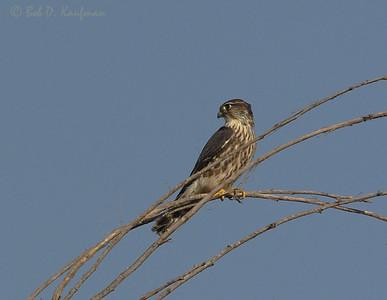 Falco columbarius - Merlin
