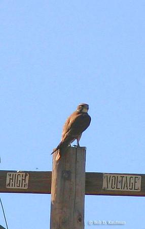 Falco mexicanus - Prairie Falcon
