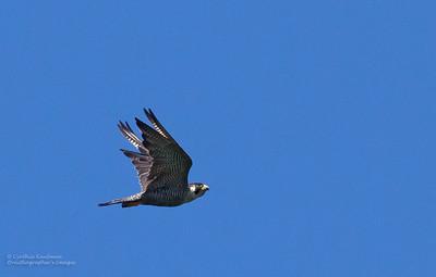 Falco peregrinus - Peregrine Falcon