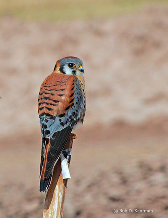 Falco sparverius - American Kestrel
