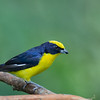Thick-billed Euphonia - hypoxantha ssp
