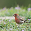 House Finch - frontalis ssp