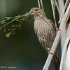 House Finch - frontalis ssp - female