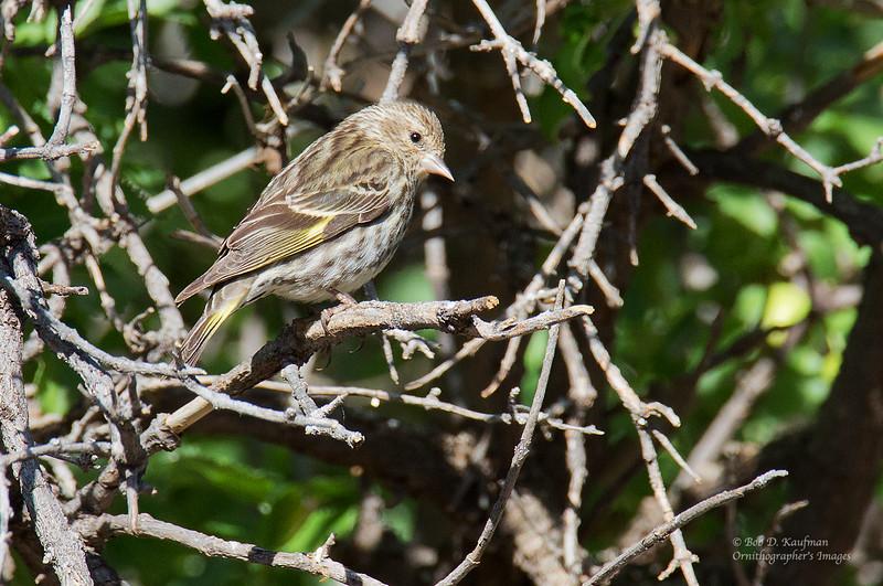 Pine Siskin - pinus ssp