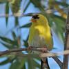 American Goldfinch -salicamans ssp