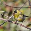 American Goldfinch - salicamans ssp
