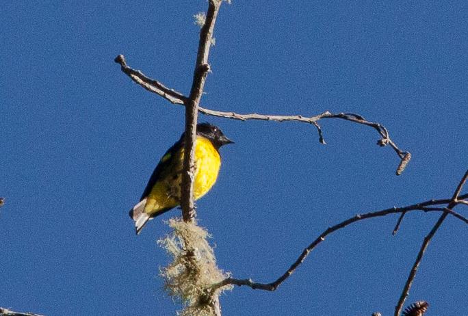 Yellow-bellied Siskin - xanthogastrus ssp